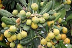Cheesewood giapponese nella fase di fruttificazione, in alloro australiano, in pittosporum giapponese, in tobira di Pittosporum,  Fotografie Stock Libere da Diritti