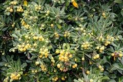 Cheesewood giapponese nella fase di fruttificazione, in alloro australiano, in pittosporum giapponese, in tobira di Pittosporum,  Fotografie Stock