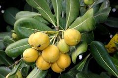 Cheesewood giapponese nella fase di fruttificazione, in alloro australiano, in pittosporum giapponese, in tobira di Pittosporum,  Fotografia Stock