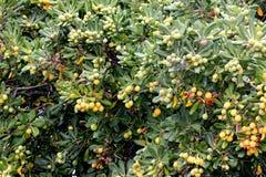 Cheesewood giapponese nella fase di fruttificazione, tobira di Pittosporum Immagini Stock Libere da Diritti