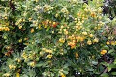 Cheesewood giapponese nella fase di fruttificazione, tobira di Pittosporum Immagine Stock