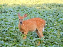Cheesin Bambi in a soybean field Stock Photography