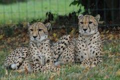 Cheeta Fotografia Stock Libera da Diritti