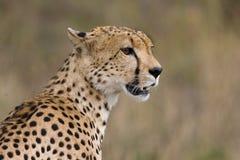 Cheeta Royalty Free Stock Image