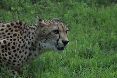 cheeta Στοκ Φωτογραφία