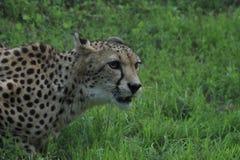 Cheeta Fotografia Stock