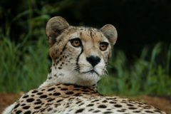 Cheeta Stock Images