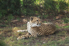 Cheeta Stock Afbeelding