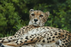 Cheeta Royalty Free Stock Image
