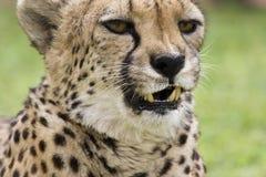 cheeta 免版税库存图片