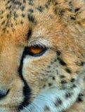 Cheeta closeup Arkivfoton