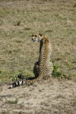 Cheeta dans Massai Mara Photo libre de droits