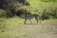 Cheeta dans Massai Mara Photographie stock