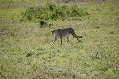 Cheeta em Massai Mara Fotografia de Stock