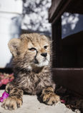 Cheeta gröngölingsammanträde i sunen Arkivbild