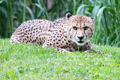 Cheeta Jaguar eyes portrait looking at you Stock Image