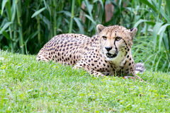 Cheeta Jaguar eyes portrait looking at you Royalty Free Stock Photography