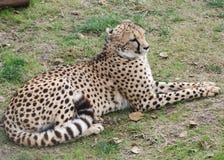 Cheeta (jubatus do Acinonyx) Foto de Stock