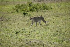 Cheeta in Massai Mara Stock Photography