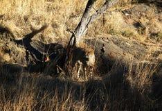 Cheeta, Namibia Fotografía de archivo