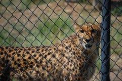 Cheeta que olha me sobre. Imagens de Stock Royalty Free