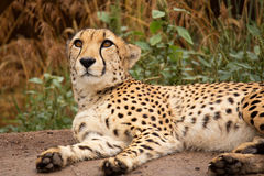 Cheeta resting in a shade Stock Photography