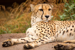 Cheeta resting in a shade Stock Images