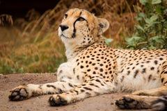 Cheeta resting in a shade Stock Photos