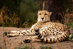 Cheeta resting in a shade Royalty Free Stock Photos