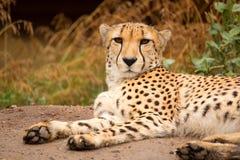 Cheeta resting in a shade Royalty Free Stock Photos
