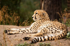 Cheeta resting in a shade Stock Image