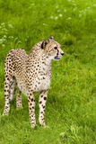 Cheeta staring. Cheetah standing in green grass and is staring Stock Photo