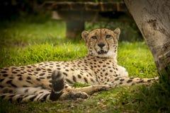 Cheeta vila Arkivfoto