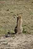 Cheeta w Massai Mara Zdjęcie Royalty Free