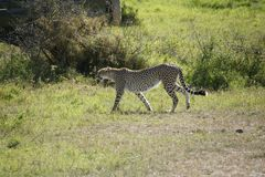 Cheeta w Massai Mara Fotografia Stock