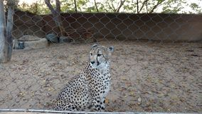 Cheeta Stock Image