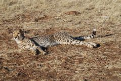 Cheetaa Stock Photography