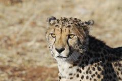 Cheetaa Royalty Free Stock Photography