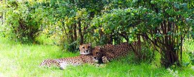 Cheetach, vriendschappelijke dieren bij de Dierentuin van Praag Stock Afbeeldingen