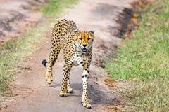cheetah fotos de stock