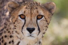 Cheetah 1 Stock Photo
