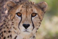 Cheetah 1 Arkivfoto