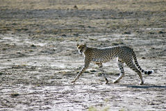 Cheetah. A cheetad walking and looking to the camera in Amboseli National Park Royalty Free Stock Photo