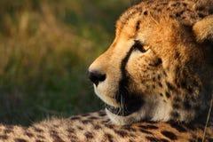 Cheetah Stock Images