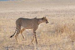 cheetah Photo libre de droits