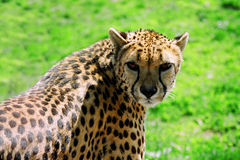 Cheetah. Shines in the sunshine Stock Photography