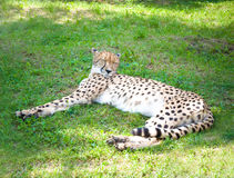 Cheetah. (Acinonyx jubatus soemmeringii) on grass Stock Images