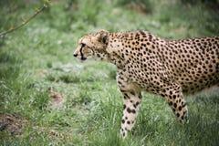 cheetah Photos libres de droits