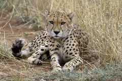 Cheetah. Africat Foundation promoting large carnivore conservation and animal welfare Stock Photos