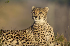 Cheetah. Lying down looking around Royalty Free Stock Images